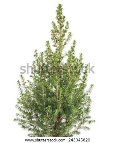 white spruce plant  isolated on white background #243045820
