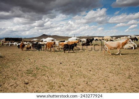 Goats grazing among the yurts in the  wide Mongolian steppes. #243277924