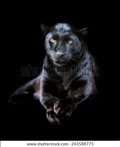Close-up black leopard on dark background