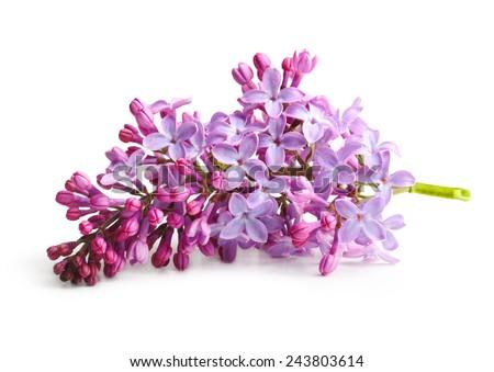 Spring flower, twig purple lilac. Syringa vulgaris. #243803614