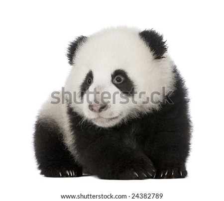 Giant Panda  (4 months)  - Ailuropoda melanoleuca in front of a white background #24382789