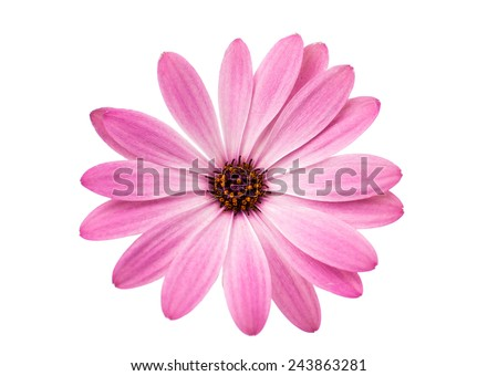 White and Pink Osteospermum Daisy or Cape Daisy Flower Flower Isolated over White Background. Macro Closeup #243863281