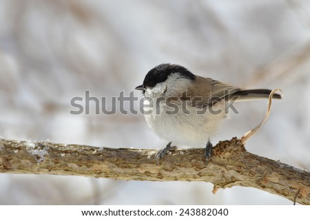 Marsh tit, Parus palustris #243882040