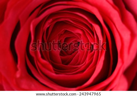 Closeup photo of a red rose #243947965