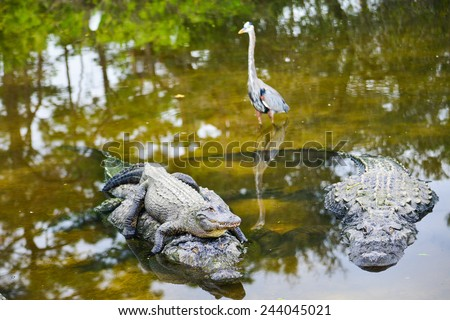 Alligator family poses in the river