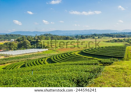 Landscape tea field in sunshine blue sky day #244596241