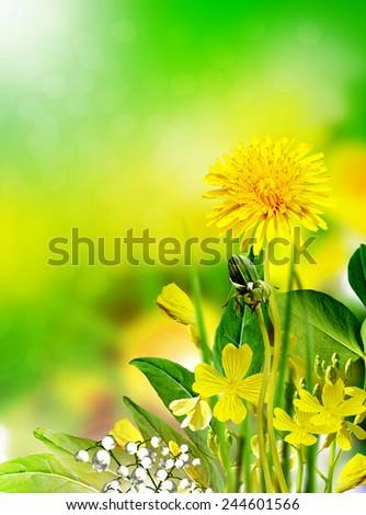 Field flowers buttercup. yellow flower #244601566