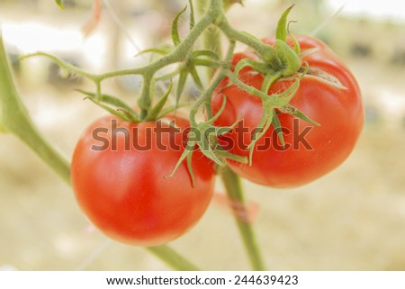organic tomato plant and fruit  on a natural background #244639423