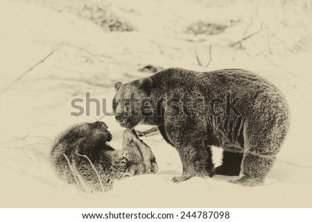 Vintage style image of two Brown Bears (Ursus arctos) in the Bayerischer Wald National Park, Bayern, Germany #244787098