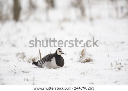 Branta leucopsis, Barnacle Goose #244790263