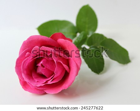 Valentine rose. Pink rose flower. Floral decoration.