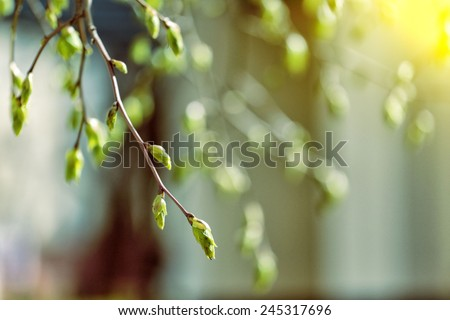 tree branch with buds background, spring  #245317696