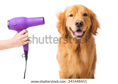 Blow dryer on a fresh groomed, happy golden retriever dog #245448451