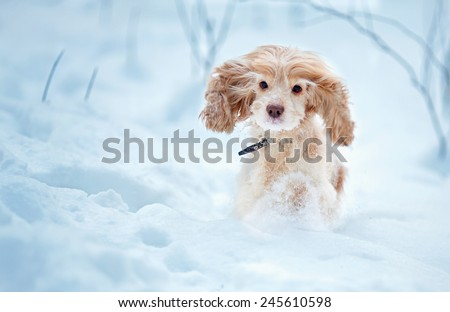 English cocker spaniel dog portrait in winter #245610598