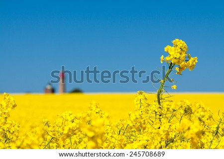 Canola field and lighthouse on the island Ruegen (Germany). Royalty-Free Stock Photo #245708689