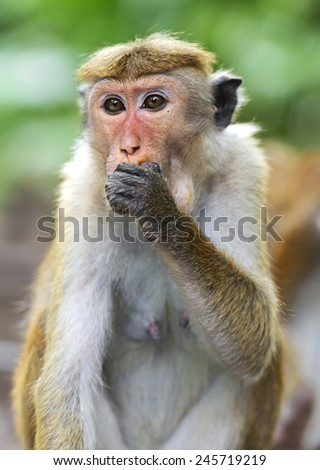 Monkey on the island of Sri Lanka in the wild #245719219
