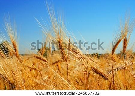 ripe wheat ears against the blue sky