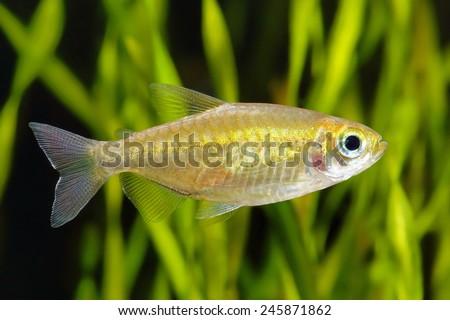 Congo tetra fish in the aquarium. Golden variety #245871862