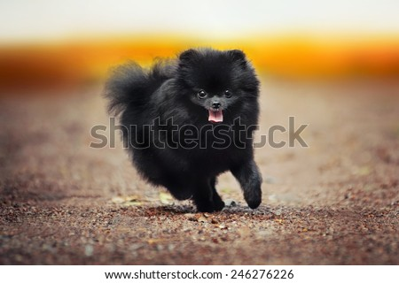Black Pomeranian Spitz puppy running at the camera #246276226