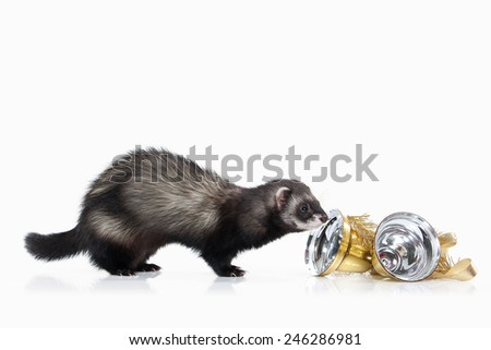 Young ferret isolated on white background #246286981