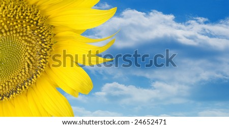 Sunflower over blue cloud sky background #24652471