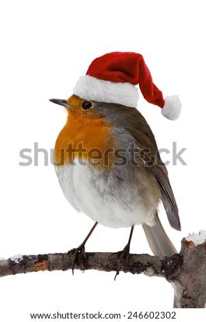 Robin with santa hat #246602302