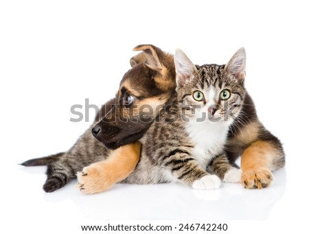 crossbreed dog hugging tabby cat. isolated on white background #246742240