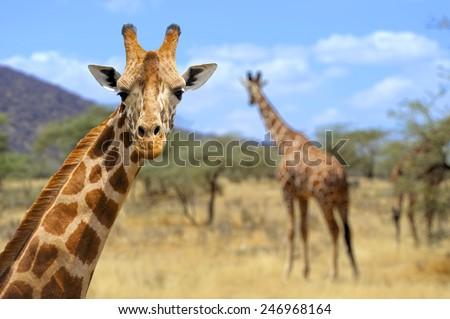 Giraffe in front Amboseli national park Kenya