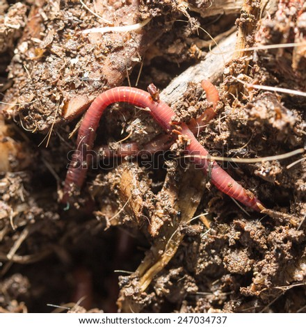 red worms in compost - bait for fishing #247034737