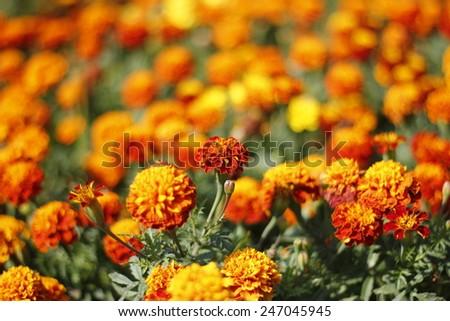 French marigolds #247045945