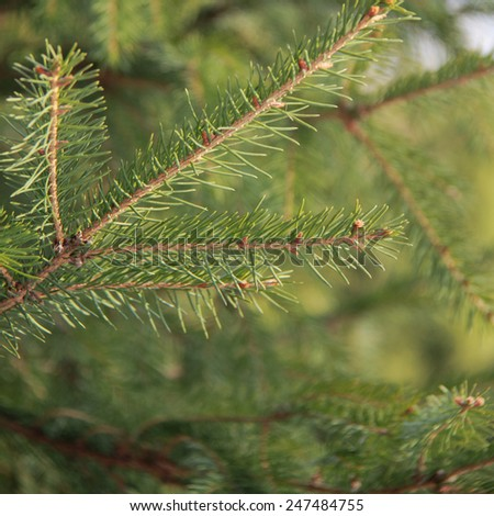 outdoor image of fur tree textured background #247484755