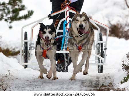 AVIEMORE, INVERNESS-SHIRE, SCOTLAND - 24 JANUARY: This is a participant within the Siberian Husky Dog Great Britain race meeting at Aviemore in Inverness-Shire, Scotland on 24 January 2014. #247856866