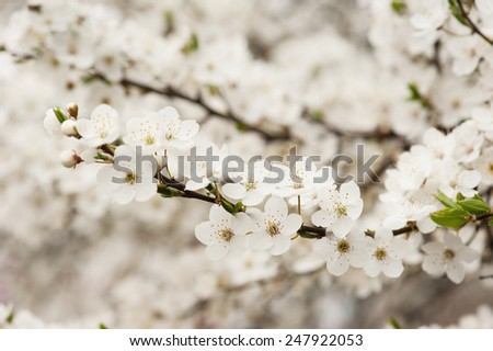 Apricot tree flower, seasonal floral nature background #247922053