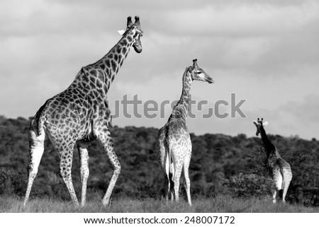 A herd of Giraffe with a baby giraffe calf #248007172