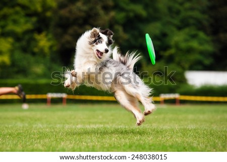 Border collie dog in jump in summer #248038015