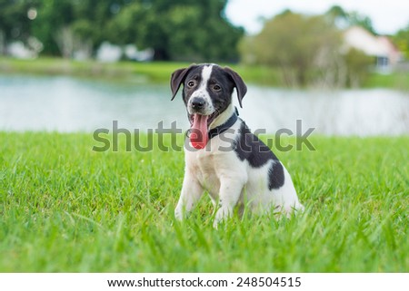Black and white puppy Black and white puppy standing outside in the grass #248504515