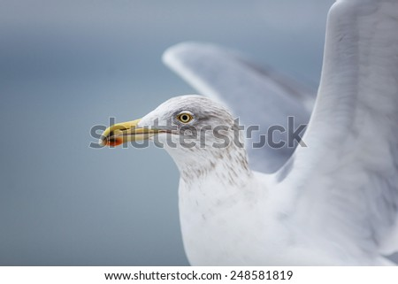 Portrait of seagull on a pier on the Baltic Sea #248581819