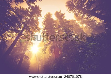 Misty Forest Trail. Magic Redwood Forest Scenery in Warm Vintage Color Grading.