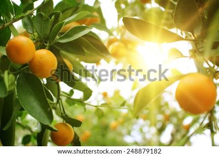 Orange tree  #248879182