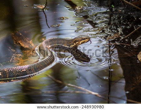 Cottonmouth snake with tongue out Royalty-Free Stock Photo #248930980