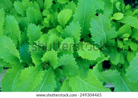 top view of young cabbage trees in garden  #249304465