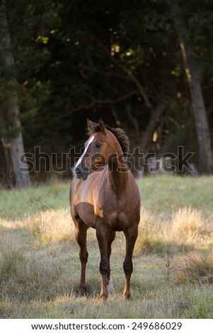 Arabic horse in a meadow , running, playing, standing. #249686029