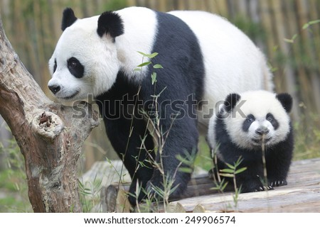PANDA TRIPLETS HALF-BIRTHDAY The triplets, which reached 6-month-old on Feb. 1., were the fourth set of giant panda triplets born with the help of artificial insemination procedures in China.