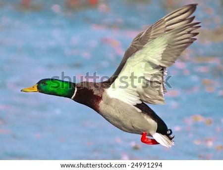 Duck in Beijing zoo. #24991294