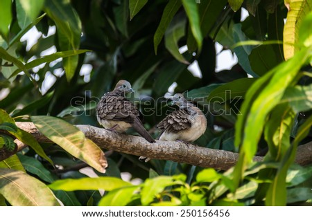 Couple Zebra dove on the branch #250156456