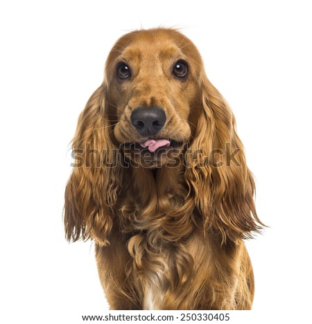 Close-up of an English Cocker Spaniel (1 year old) #250330405