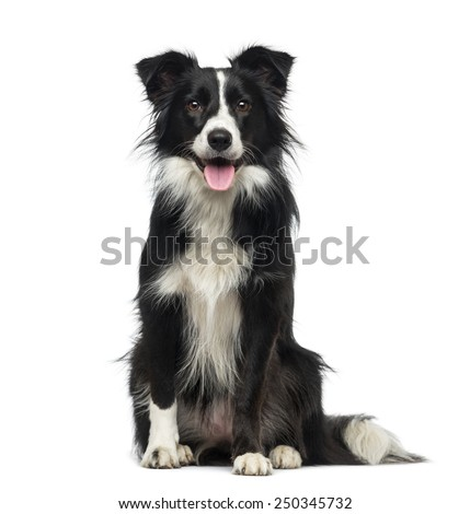 Border Collie (2 years old) Royalty-Free Stock Photo #250345732