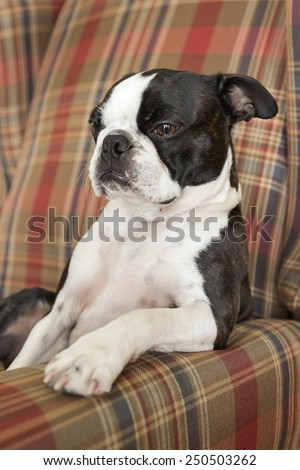 Boston Terrier Puppy Resting Paw on Chair #250503262