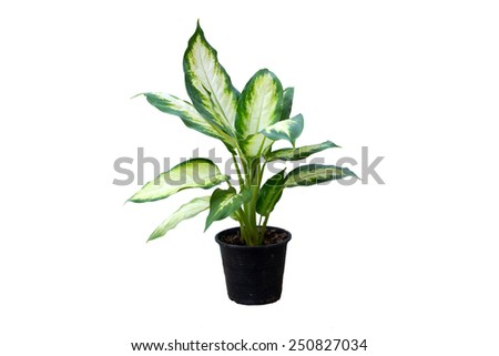 Dieffenbachia plant in black flowerpot with isolated #250827034