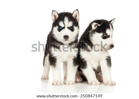 Two cute husky puppies #250847149